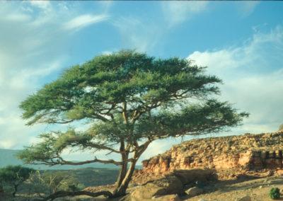 Große Akazie - Die Akazien spenden Schatten, liefern Futter in Form von Blüten und Samenkapseln und abgestorbene Äste dienen als Brennholz. Bis vor etwa dreißig Jahren gab es so viele Akazien in den Tälern, dass die Männer aus dem Holz Kohle herstellen konnten, was wiederum ein wichtiges Tauschgut war, wenn man Lebensmittel oder Haushaltsgegenstände erwerben wollte. In den letzten Jahren sterben mehr und mehr der oft Jahrhunderte alten Akazien aufgrund des gesunkenen Grundwasserspiegels ab.