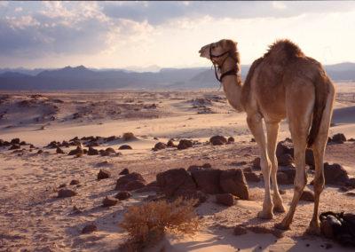 Kamel sinniert