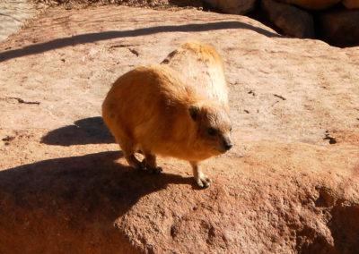 Klippschliefer - Die Klippschliefer gehören zu den wenigen Säugetierarten, die man in der Wüste finden kann. Dieses Exemplar lebt in Gefangenschaft im Gehege von Ramadan im Wadi Arba'in am südlichen Fuß des Moesesberges.