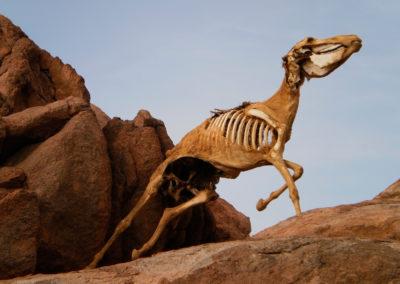 Toter Esel im Galopp - Erstaunlich: im Sinai galoppieren hin und wieder tote Esel durch die Gegend!