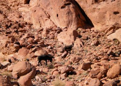 Wild lebende Esel - Im Hochgebirge lebt eine große Population wilder Esel. Manche Bergbewohner sehen in ihnen eine regelrechte Plage, weil sie Unmengen von Kräutern vertilgen, von denen manche Spezien sehr selten und sogar gefährdet sind. Es wurde schon Kopfgeld auf sie ausgesetzt.